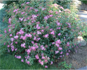 Anthony-Waterer-Spirea