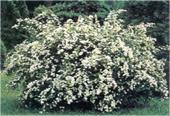 Bridle-Wreath-Spirea