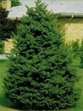 Colorado-Spruce