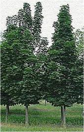 Columnar-Maple