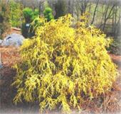 Dwarf-Golden-Threadleaf-Cypress