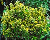 Golden-Euonymus