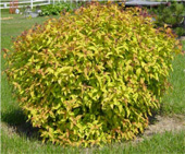 Goldflame-Spirea