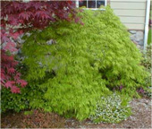 Green-Cutleaf-Japanese-Maple