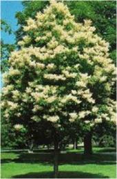 Ivory-Silk-Lilac