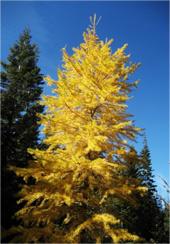 Larch-Tree