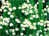 Lilly-of-Valley