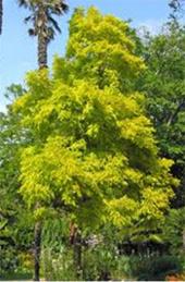 Locust-Tree