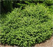 Nest-Spruce