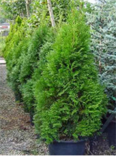 Pryamidal-Cedar