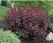 Purple-Leaf-Sandcherry