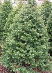 Pyramidal-Yew