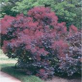 Royal-Purple-Smoke-bush