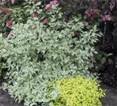 Silver-Leaf-Dogwood