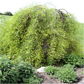 Weeping-Pea-shrub
